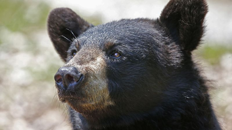 In this July 25, 2014, file photo, a black bear in captivity awaits handouts at the the Maine...