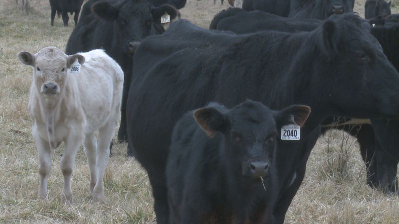 Ten black Angus cows and five calves were stolen on Monday from the Callison Ranch, just south...